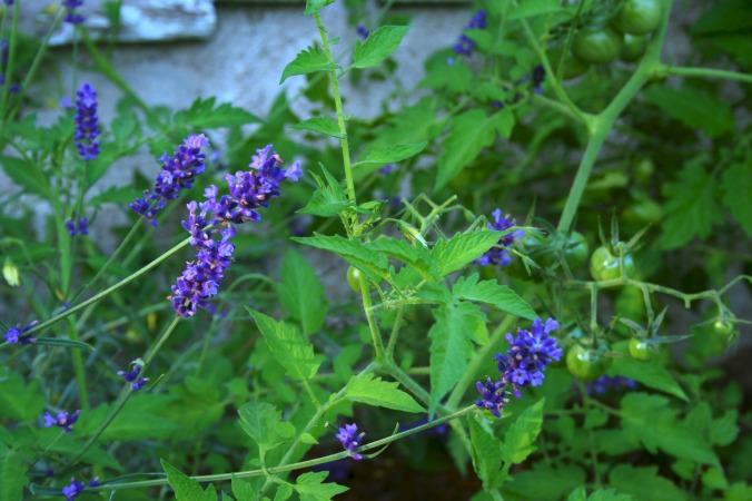 lavenderandtomatoes